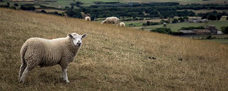 こちらを見る羊