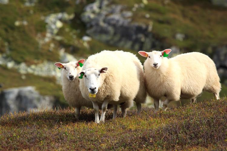 愛らしい羊